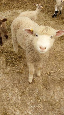 Lamb18