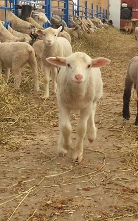 Lamb7