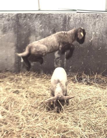 Lamb8